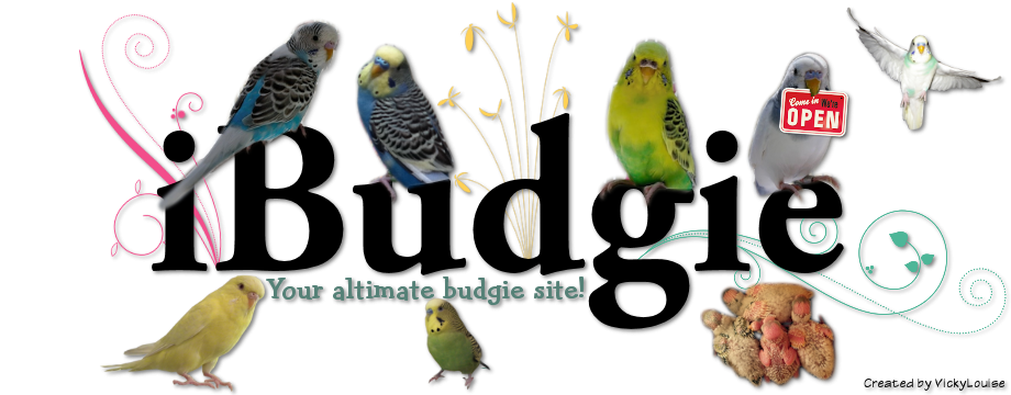 Feeding budgies forumfinder Gallery
